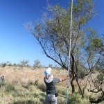 UF in Swaziland student measures a sickle bush in Kruger N.P.